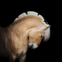 Beautiful Horse Pony Norwegian...
