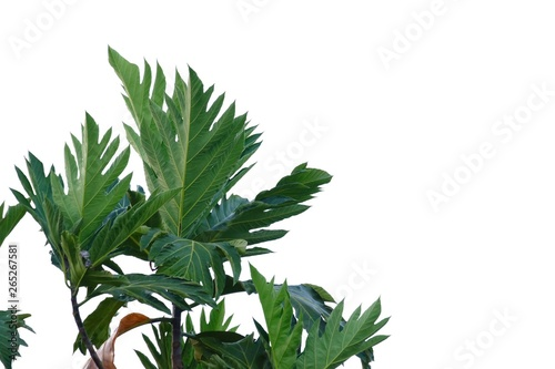 Fototapeta Breadfruit leaves with branches on white isolated background for green foliage backdrop  obraz na płótnie
