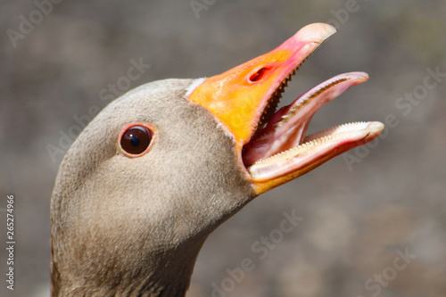 Tablou Canvas portrait of a goose