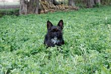 Yorkshire Terrier Bulldog Mix ...