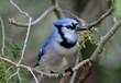 Blue Jay in cedar tree