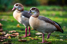 Egyptian Geese In Regents Park, One Of The Royal Parks Of London