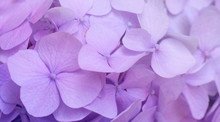Pink Hydrangea Background. Hortensia Flowers Surface.