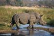 Rhinoceros (Ceratotherium simum) in savanna, Kruger National Park, South-Africa