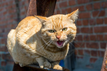 Aggressive Snarling Red Cat