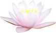 light pink water lily on white illustration
