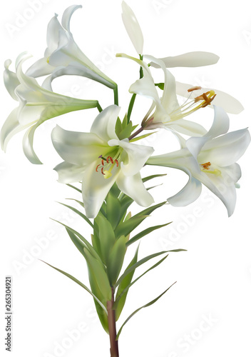 Fototapety, obrazy: five white lily blooms and two buds on stem