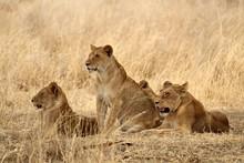 Wildlife Lioness