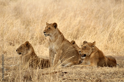 Wildlife lioness Canvas Print