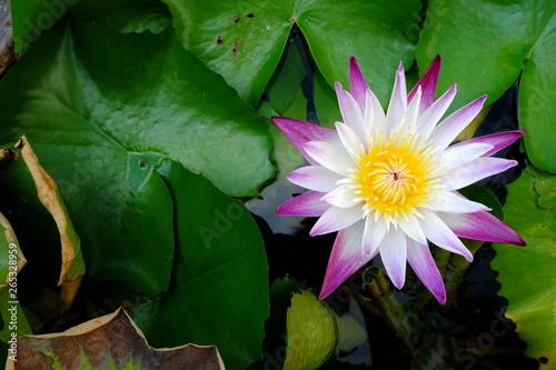 Beautiful Lotus in Pond. - 265328959