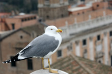 Seagull With Yellow Beak Ang Grey And White Feathers