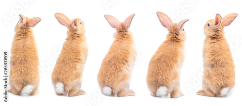 Obraz na płótnie Five action of orang-brown cute baby rabbit standing, backside isolated on white background