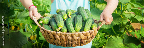 homemade cucumber cultivation and harvest in the hands