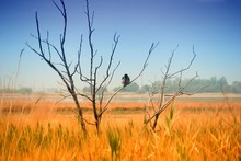 A Crow Sits On A Dead Tree In The Middle Of A Field. Yellow Wheat Ears, Beach Lake In The Background And Blue Sky. The Bird Looks Into The Eyes Of The Viewer.