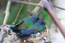 Two Hummingbirds In The Nest