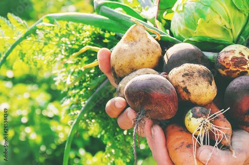 Obraz na plátně  organic homemade vegetables in the hands of men.