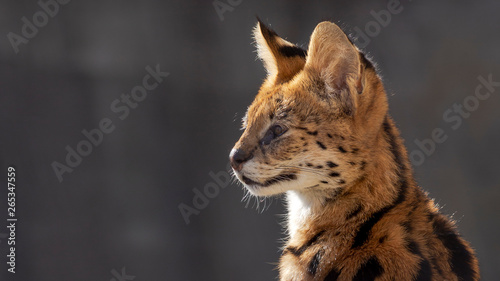 Photo  close up portrait of a serval cat