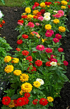 Flowering And Colourful Zinnia...