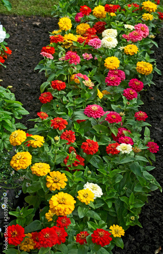 Flowering and colourful Zinnia 'Elegans'