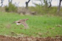 Female Pheasant In Flight