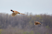Pheasant Male And Female In Flight