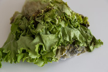 Moldy Lettuce Is Covered With ...