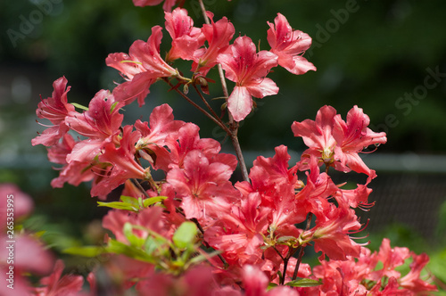 Tuinposter Azalea pink flowers in the garden