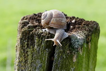 Naked Snail On Fence Post, Looking Down Courageous