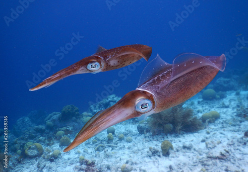 Caribbean squid Canvas Print