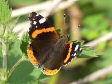 Red Admiral Butterfly Vanessa Atalanta On A Forest Leaf