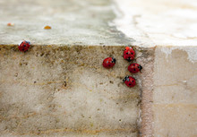 Close-up Photo Of The Ladybugs Sitting On A Wall.