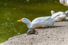 The Turtle And The White Goose Bask In The Sun.