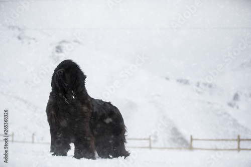 Fotografia Newfoundland Dog standing in the snow