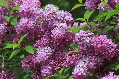 Foto op Plexiglas Lilac Blooming lilac close-up