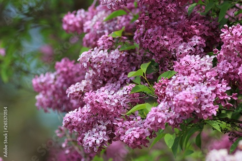 Foto op Plexiglas Lilac Blooming lilac close-up