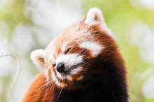 A Red Panda Tilts Its Head To One Side After Yawning High Up In A Tree In East Anglia (England) During The Spring Of 2019.