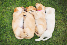 Adorable Group Of Golden Retri...
