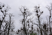 Colony Of European Jackdaw Birds. A Colony Of Jackdaw Nesting High Up In Bare Treetops Against A Dark Cloudy Sky.