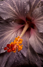 Close Up Of A Hibiscus Flower With Water Droplets; Hawaii, United States Of America