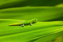 Gold Dust Day Gecko On Green L...