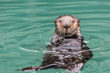 Close-Up Of A Sea Otter (Enhydra Lutris) Floating On It's Back, Looking Towards The Camera, South-Central Alaska; Seward, Alaska, United States Of America