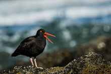 An American Black Oystercatcher (Haematopus Bachmani) Vocalizes On The Oregon Coast; Newport, Oregon, United States Of America