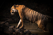 A Bengal Tigress (Panthera Tigris Tigris) Climbs Out Of A Water Hole Shrouded In Dark Shadows. Her Name Is Maya 'the Enchantress', And She Has Orange And Black Stripes With White Patches On Her Head, Tadoba Andhari Tiger Reserve; Chandrapur, Maharashtra, India