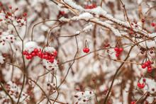 Mid-December Snow On Wild Rose...