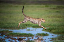 Young Cheetah (Acinonyx Jubatus) Jumping Over Some Water, Serengeti; Tanzania