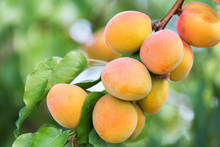 Close-up View Of Apricots Growing On A Tree, Palisade, Colorado, United States Of America
