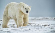 Polar Bear (Ursus Maritimus) W...