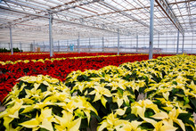 Rows Of Multi-coloured Poinsettias That Were Grown In A Greenhouse Operation Nearing The Christmas Season; St. Albert, Alberta, Canada