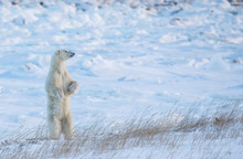 Polar Bear (Ursus Maritimus) Standing In The Snow Looking Beautiful; Churchill, Manitoba, Canada