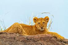 Lion (Panthera Leo) Cub Lying ...